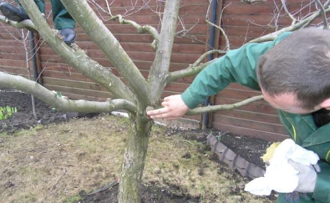 Что используют вместо садового вара?