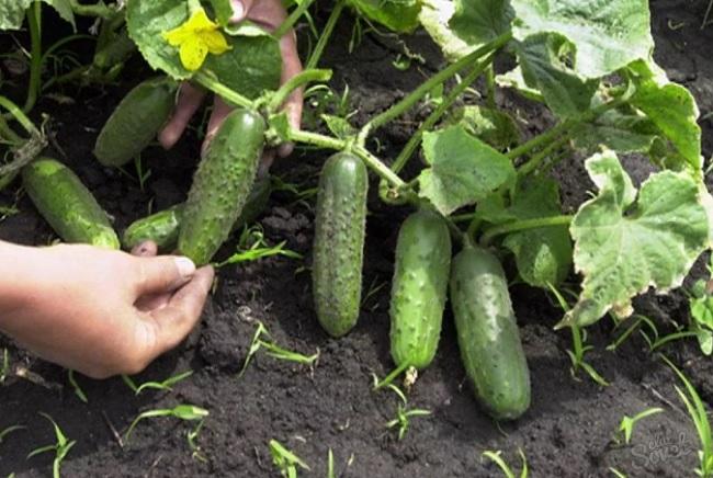 Как ухаживать за огурцами в огороде на грядке?